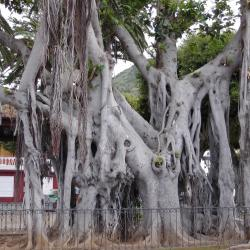 Ficus socotrana 1