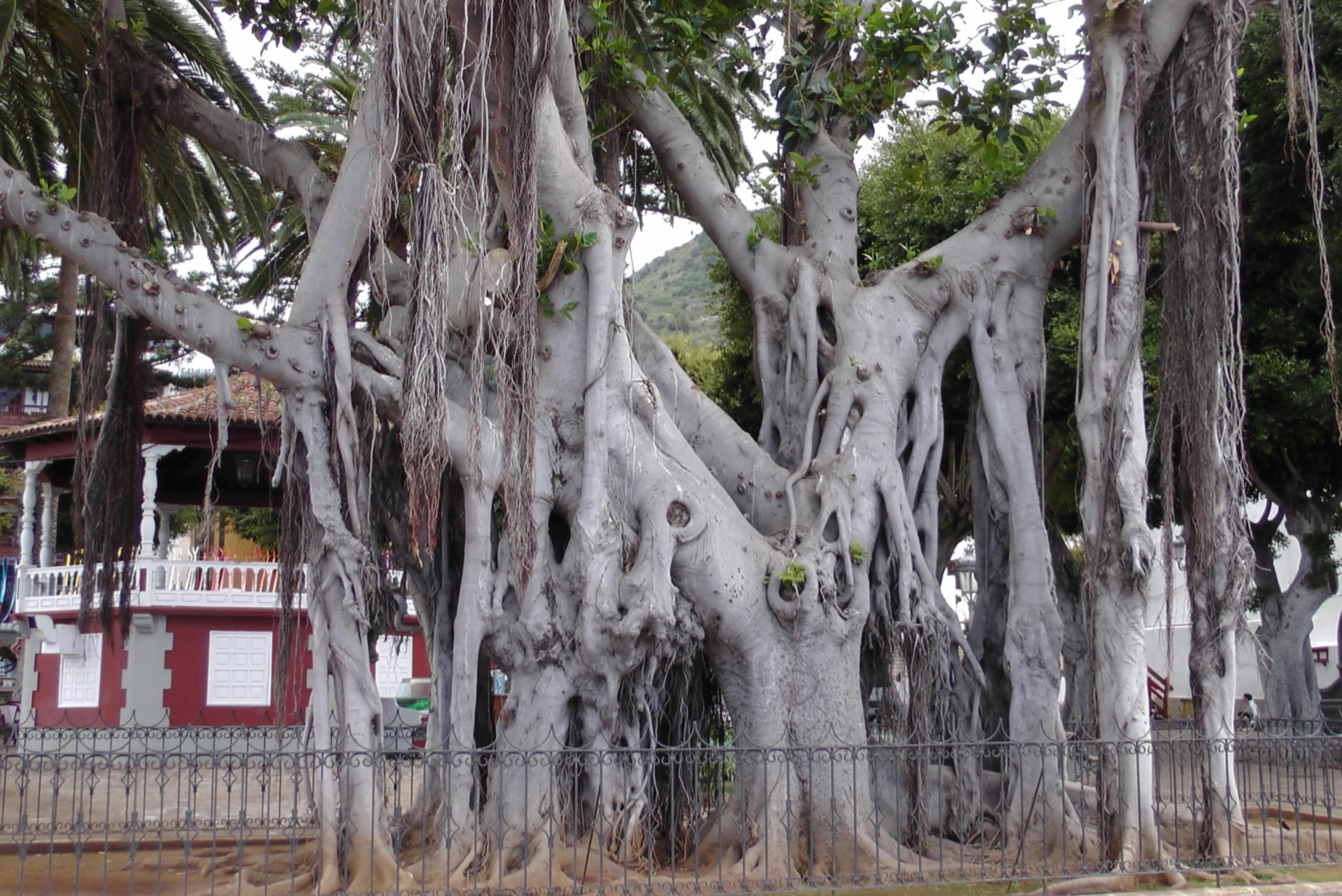 Ficus socotrana
