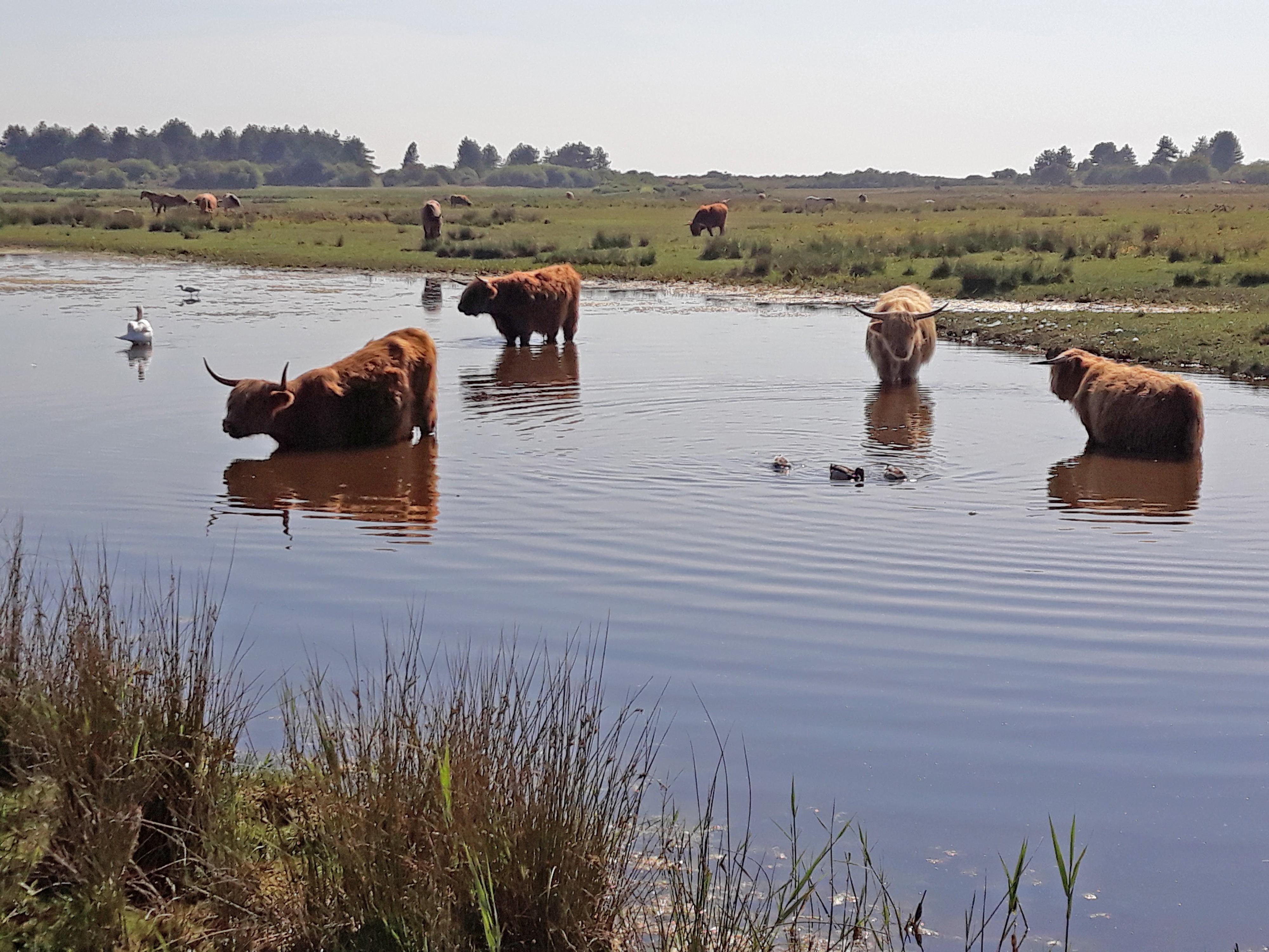 Vaches écossaises higland